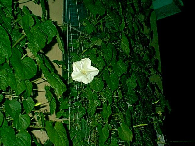 bright white moonflower, amid tall green vines, in the dark