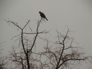Crow on a bare wintry tree, cold sky