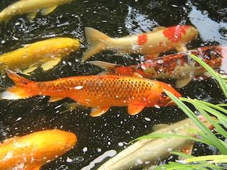 photo Koi fish varied close up.jpg
