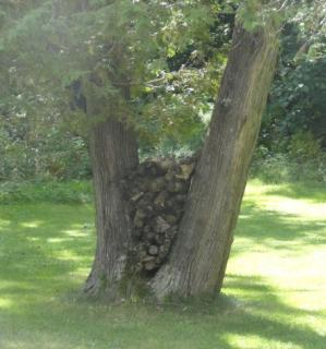two close trees on a lawn, growing in a'v'with firewood stacked between them