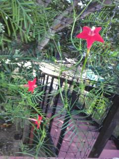 cypress vine flowers and fronds growing up into a tree
