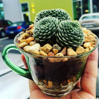 dirt, rocks and three tiny cactus in a clear coffee cup