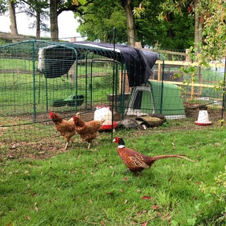 a pheasant visits the chickens