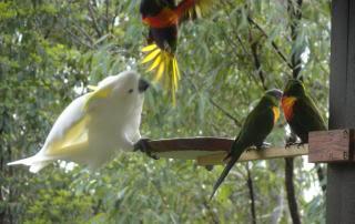 cockatoo running a lorikeet away from a feeder
