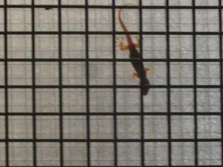 lizard on a window behind wire