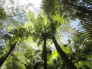looking up into sunshine through a forest of Australian Tree Fern