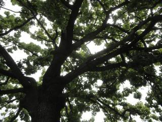 large, old tree from below