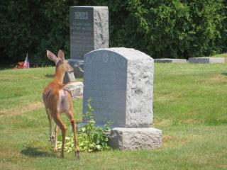 a fawn looking at a gravestone