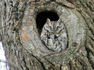screech owl in a hole in a tree