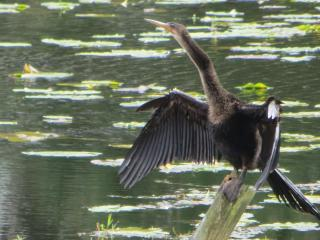 cormorant perched