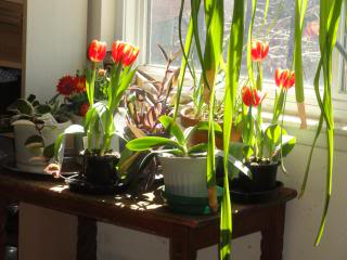 tulips inside, in a sunny window