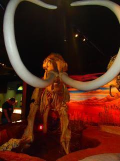 museum mastadon with tusks