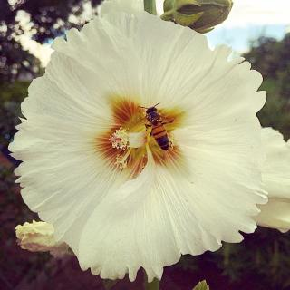 bee in a white hollyhock bloom