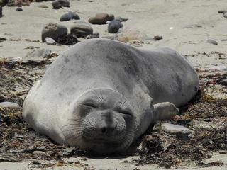 a sleepy seal