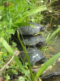 photo three turtles near a pond