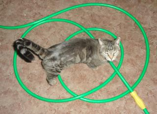 green garden hose, swirled, tangled, on carpet, with a cat standing on it looking up