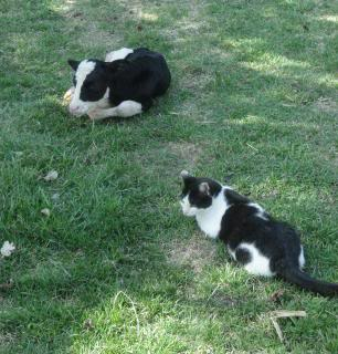 newborn calf and cat, same colors