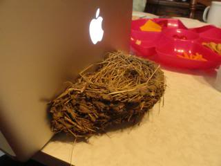 barn swallow nest set up against the back of an open Apple laptop