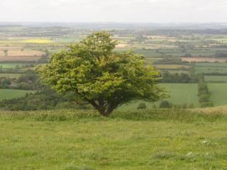 large hawthorne tree in Oxfordshire