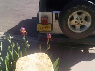 photo two purple iris flowers blooming behind a silver Jeep