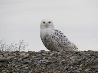 snowy owl against grey sky