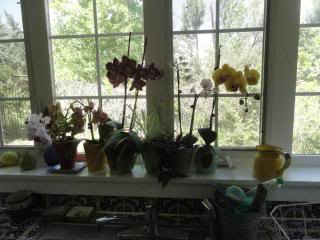 orchids in small pots in a windowsill