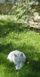 white cat on a lawn