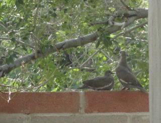 two mourning doves on a cinderblock wall, with a tree as background