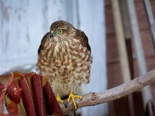a hawk, perched near a house