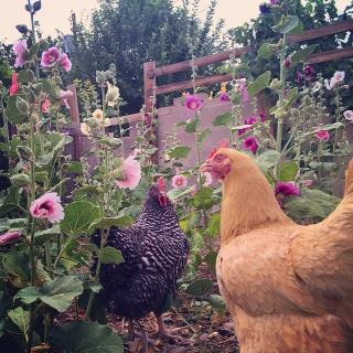 two very different chickens and three kinds of hollyhocks