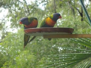 lorikeets at a feeder in Australia