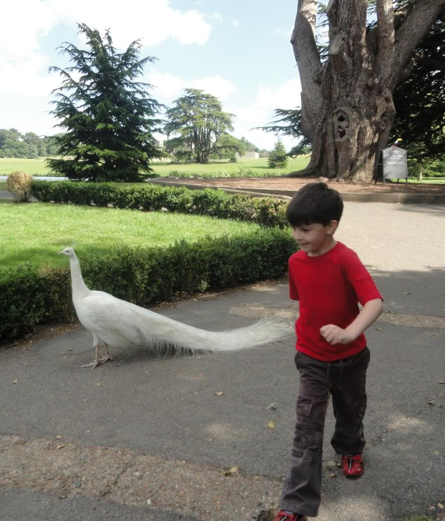 white peacock, child