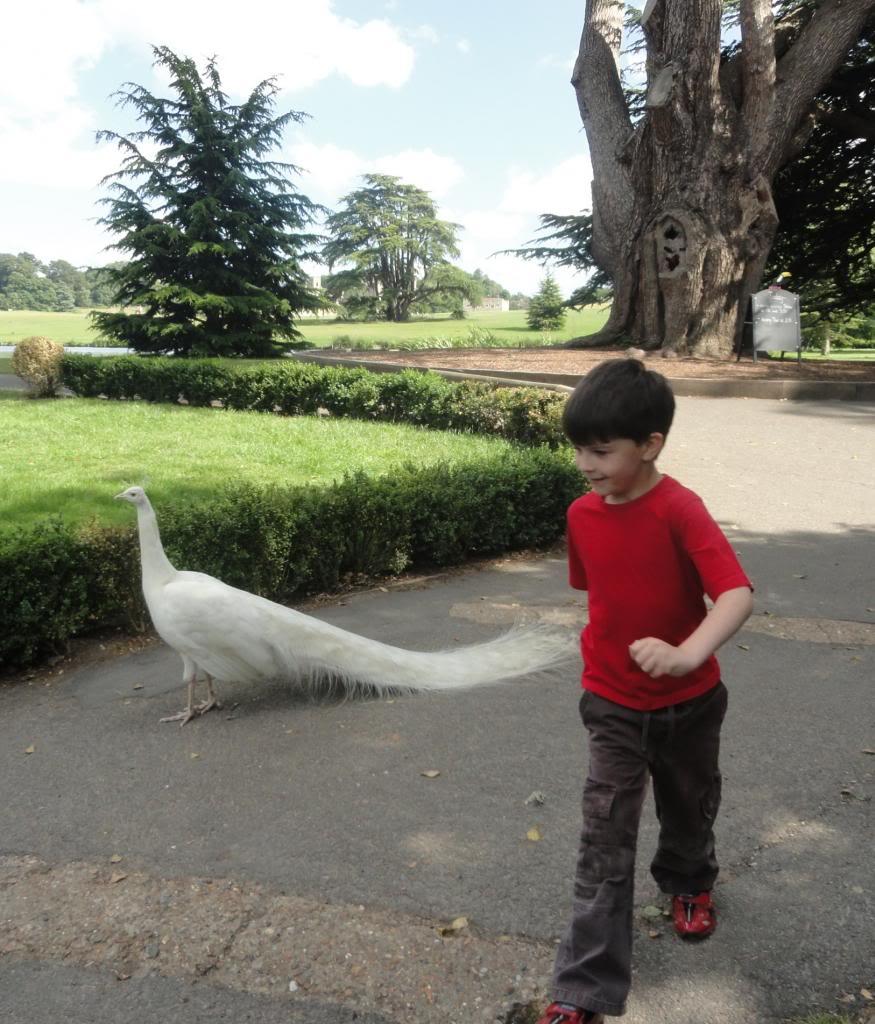 white peacock, child